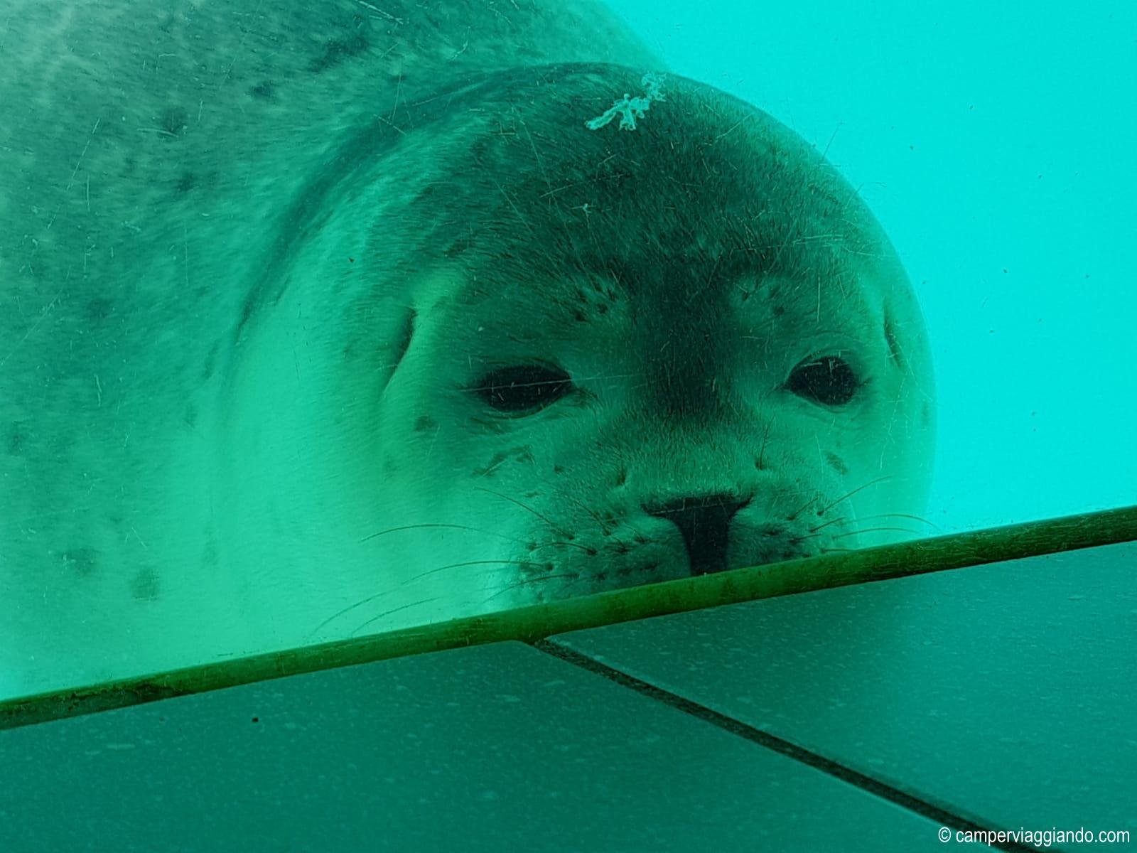 Pieterburen vetro con la foca