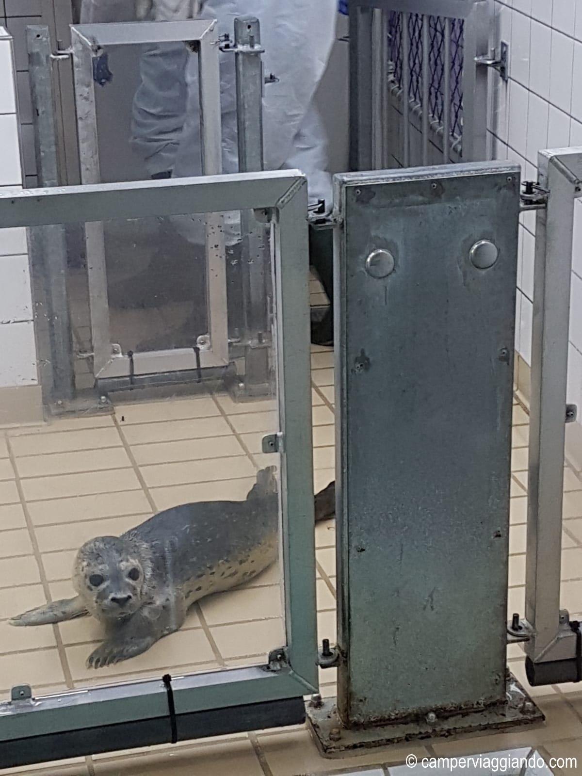 Pieterburen Ospedale delle foche